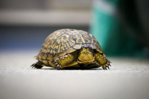 This turtle was one of thousands of animal patients at Tufts Wildlife Clinic in 2020.
